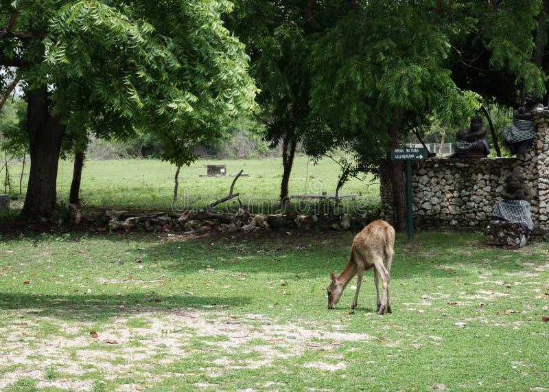 Deer on Menjangan Island. This photo taken on Menjangan Island Bali, Indonesia SOuth East Asia stock photo
