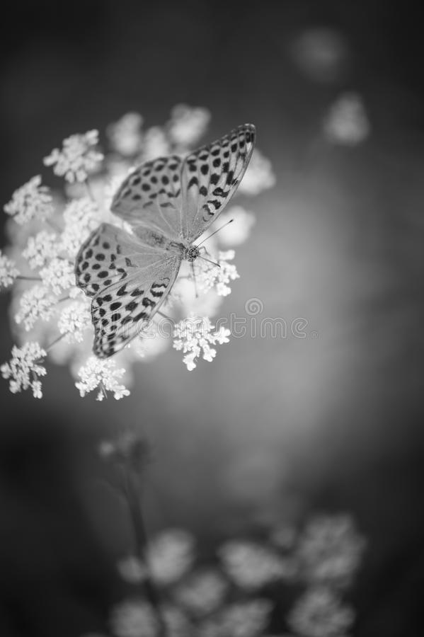 single cardinal butterfly insect in summer in plain day close-up in black and white royalty free stock image