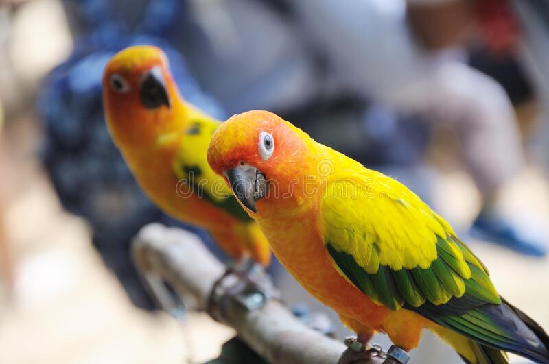 A pair of yellow lorikeets perched on a branch at a park royalty free stock photo