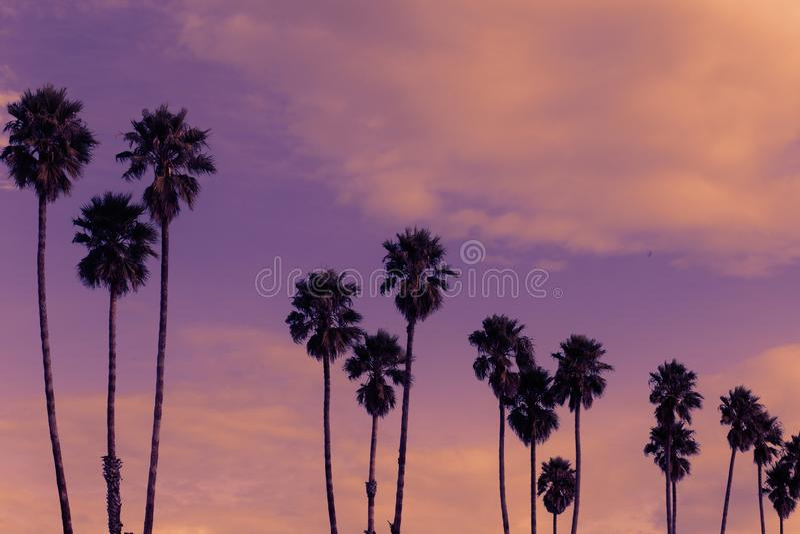 Row of Tall Palm Trees at Sunset on Santa Cruz Beach Boardwark, California. Photo taken at Santa Cruz Beach Boardwalk of a row of palm trees royalty free stock photo