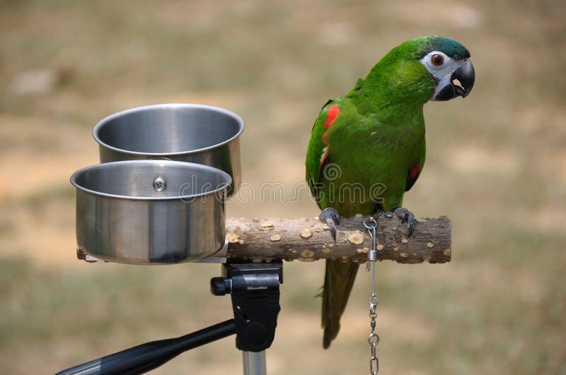 A single green parakeet perched on a branch with a pair of feeding water bowls royalty free stock images