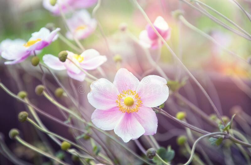 DREAMY SUMMER AFTOON BEAUTIFUL PINKS FLOWERS. PHOTO TAKEN ON A SUMMER AFTERNOON ESCAPE FROM REALITY AND ENTER INTO YOUR DREAM WORLD.EXPERIENCE ALL YOUR FANTASIES royalty free stock images