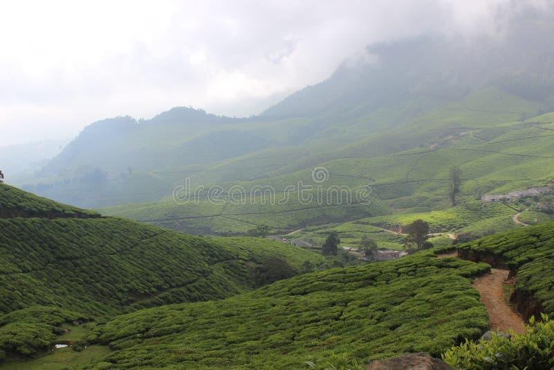 Kerala munnar tea estate stock photos