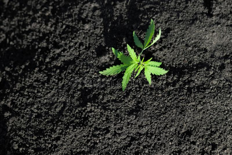 Photo th?matique pour l?galiser un chanvre d'usine Bas cultivar technique de THC sans la valeur de drogue Jeune plante de cannabi photographie stock