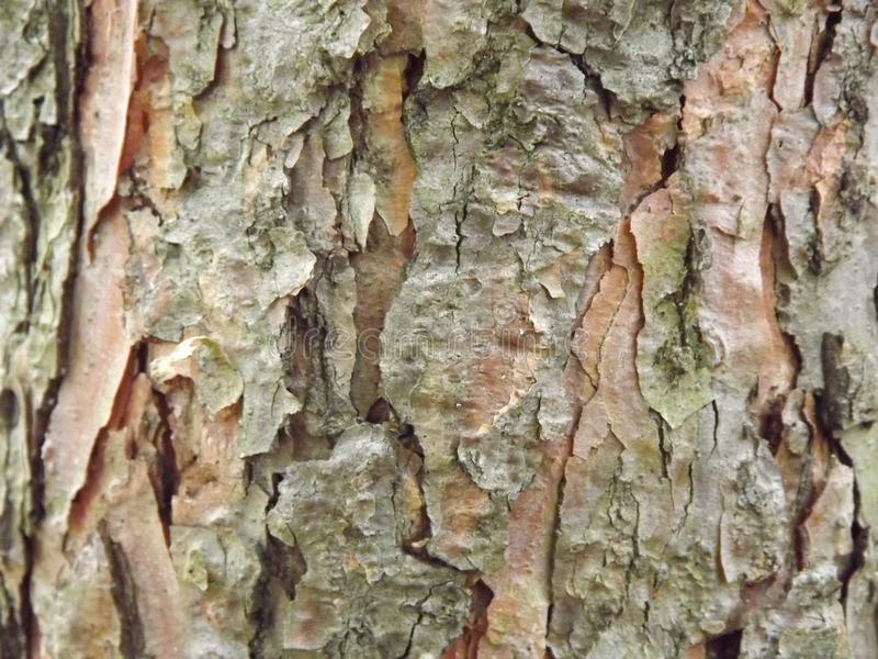 Photo of tree bark. Photo of the bark of an old tree in the fall stock photos