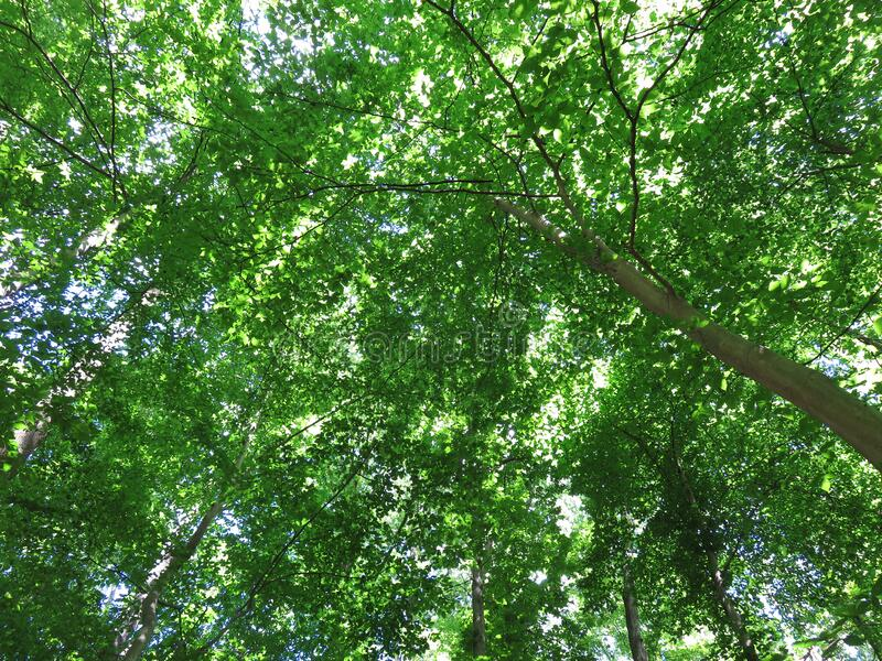 Canopy of Green Leaves in May stock image