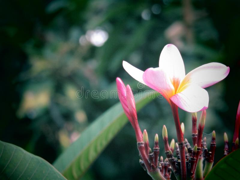 A photo of tropical flower with dramatic light. Natural, garden royalty free stock photo