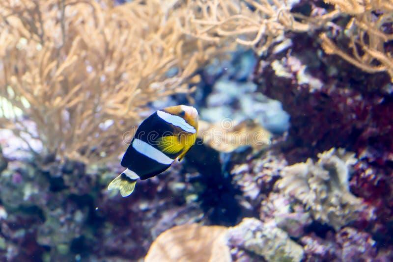 Photo trouble de clarkii d'Amphiprion, connue généralement comme anemonefish et clownfish à queue jaune de Clark dans un aquar photo stock
