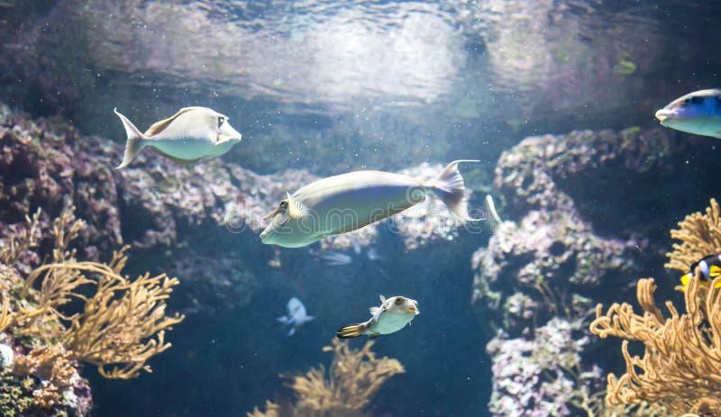 Photo trouble des poissons de licorne dans un aquarium de mer photographie stock