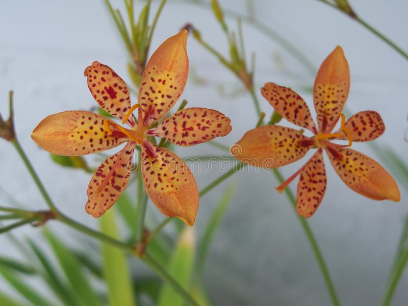 Photo of two pretty orange blackberry lilies. This is a photo of two pretty little orange blackberry lilies showing off their red spots stock photo