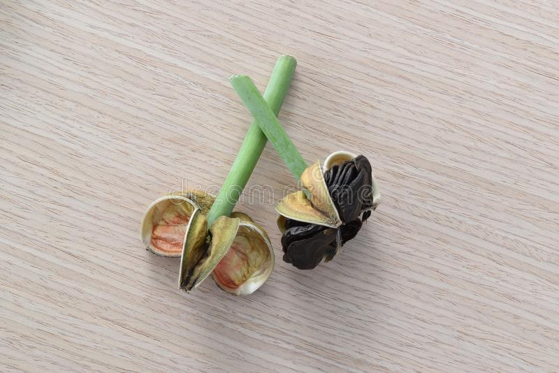 Amaryllis seed pods royalty free stock images