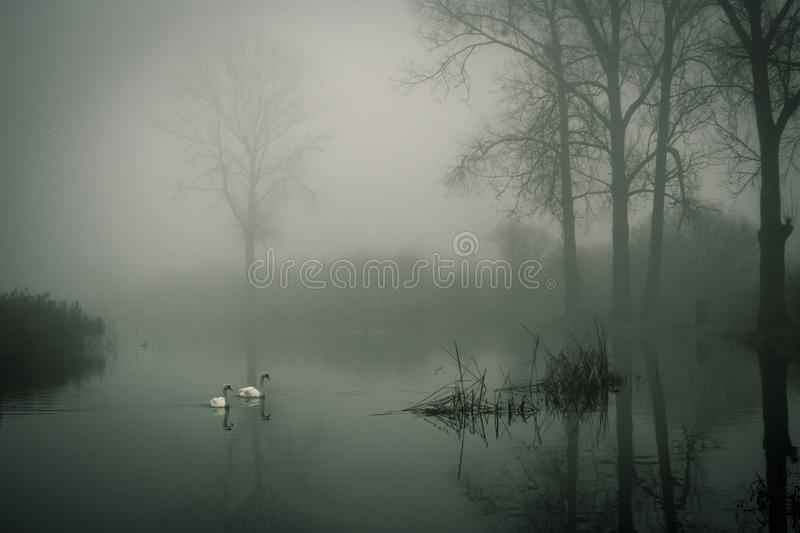 Photo of Two White Ducks on Water during Fog stock images