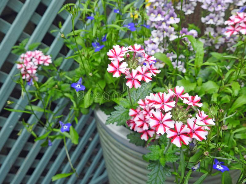 Verbena growing in small space garden potted plants. Photo of verbena and various plants and flowers growing in a pot in a small space garden with trellis fence royalty free stock images
