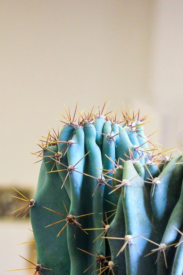 Photo verticale d'un cactus s'élevant en serre chaude tropicale Cactus avec des épines photos stock