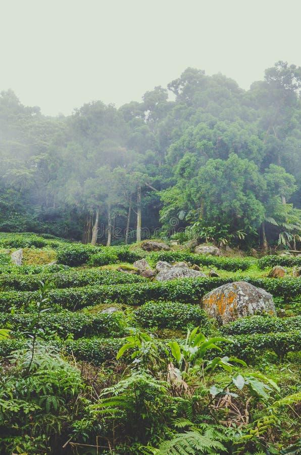 Photo verticale de beau paysage déprimé avec les plantations de thé en terrasse sur la colline et la forêt tropicale à l'arrière- photos libres de droits