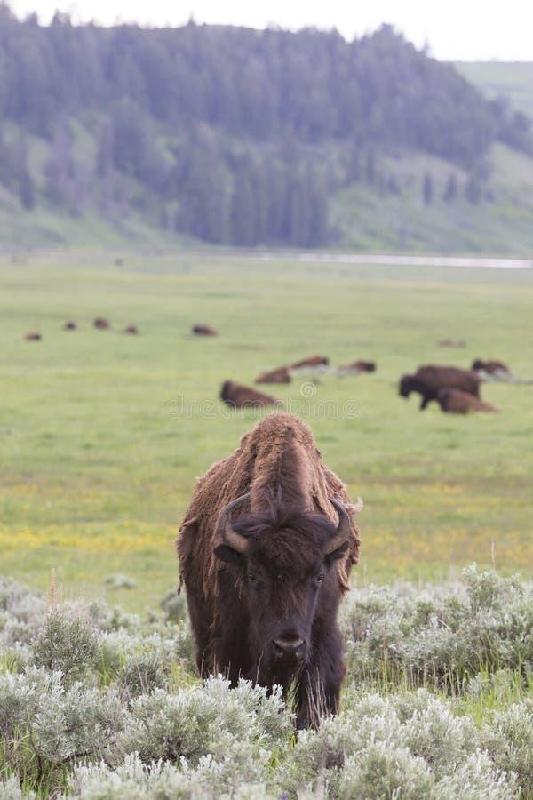 Photo verticale de paysage de jeune buffle de taureau image stock