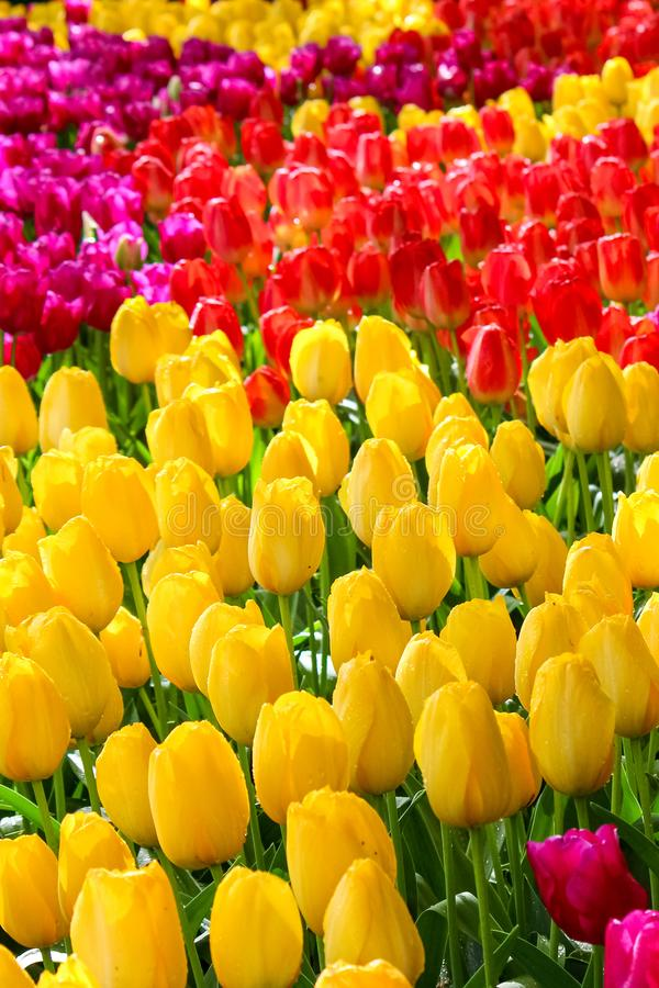 Photo verticale des fleurs colorées de tulipe Les tulipes sont jaunes, rouges et pourpres Belle nature Parc de floraison, concept image stock