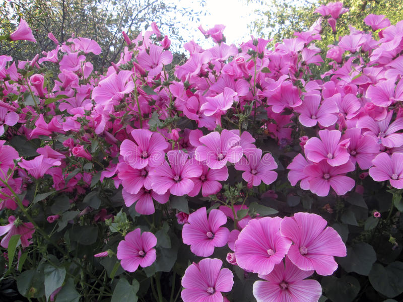 Photo of very beautiful flowers lavatera royalty free stock photography