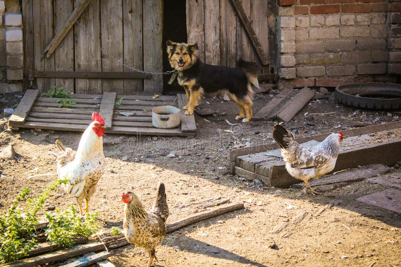 Village yard.chickens,rooster and dog. stock photography