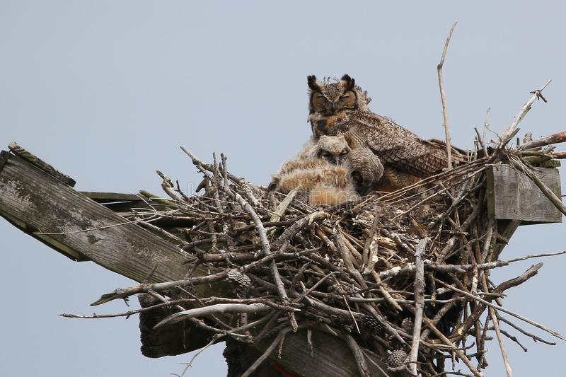 Great Horned Owl with two young. This photo was taken in Cape Henlopen State Park in Delaware. Usually these owls are very difficult to see, however this female stock photo