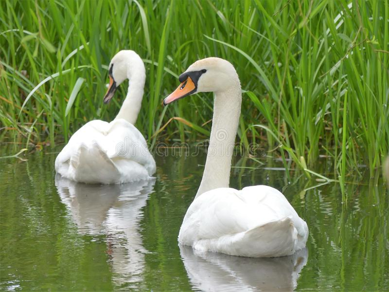 Two beautiful swans on the River Chess at Chenies royalty free stock photography