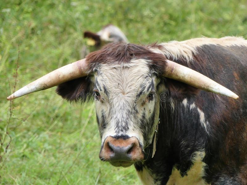 English Longhorn cattle, a long horned brown and white breed of beef cattle often used for conservation grazing royalty free stock image