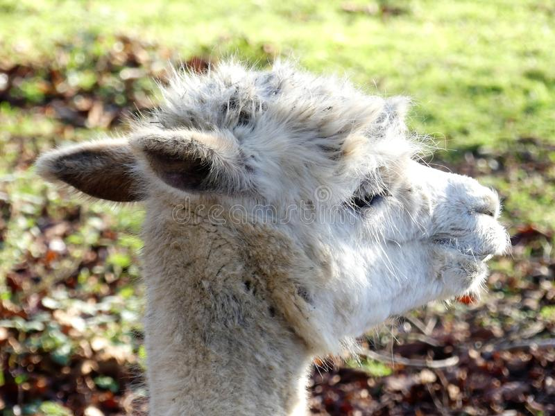 Close-up of white alpaca`s face royalty free stock images