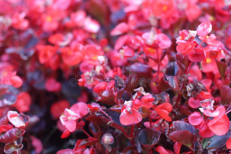 Red ornamental flowers near the fountains of the National Palace of Culture in the capital city of Sofia. This photo was taken in home in Sofia - center, NDK royalty free stock photography