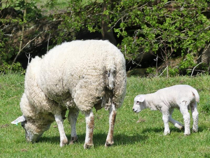 Ewe sheep and single lamb in field at springtime. This photo was taken in Little Missenden, Buckinghamshire, England, UK stock image