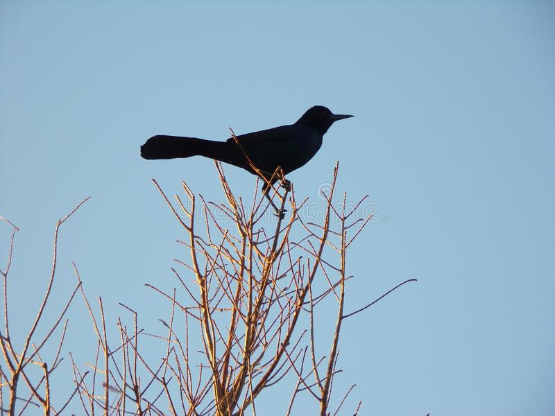 Blackbird perched on top of a tree. royalty free stock image
