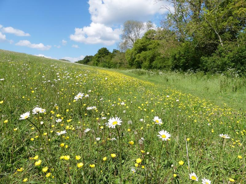 Beautiful Ox-eye daisies in meadow in the Chiltern Hills stock photos