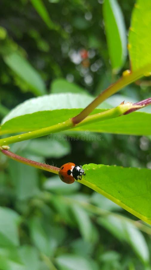 Ladybug on the twig of walnut tree stock image