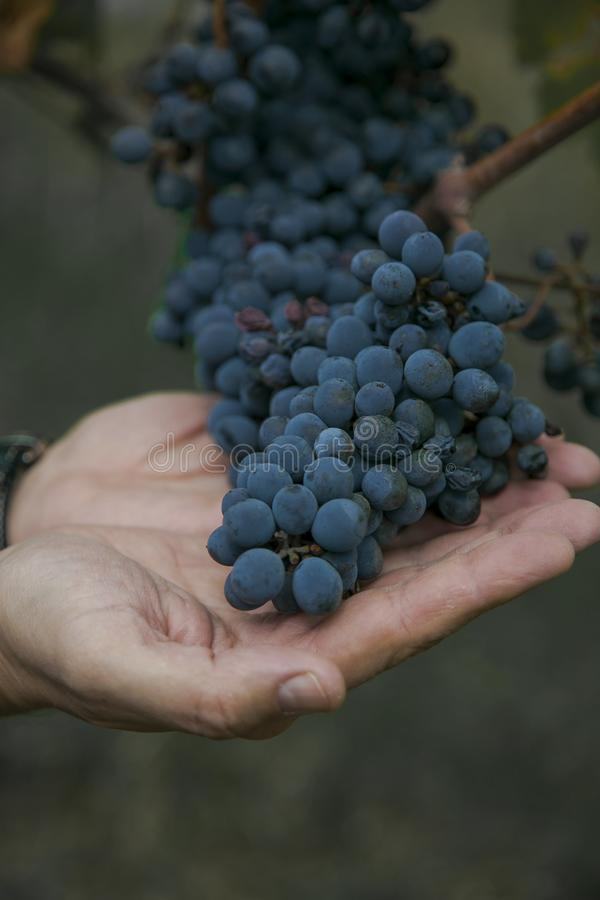 A bunch of grapes stock images