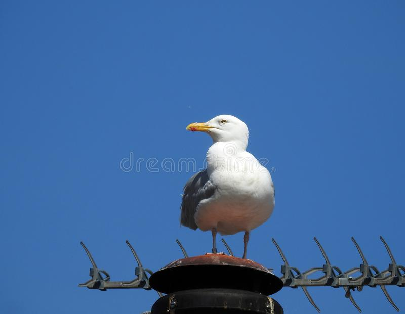 Watchful alert seagull bird on chimney rooftop urban birds. Photo of a watchful alert seagull high up on a rooftop aerial set against a kent blue sky june 2019 stock images