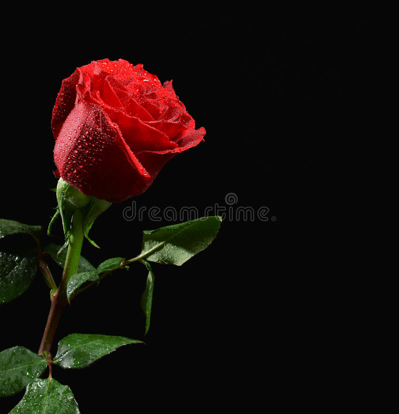 photo of wet single red rose with water drops on black