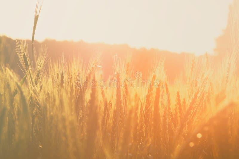 Photo of wheat field at sunrise sun burst. royalty free stock images