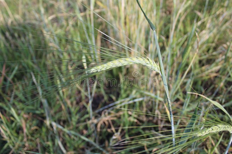 Wheat spike in the field close-up stock photography