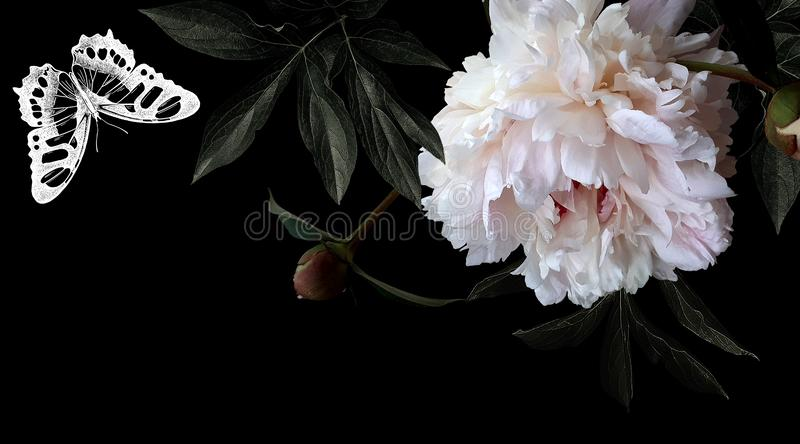 Photo white flowers peonies and drawing butterfly on black background. stock illustration