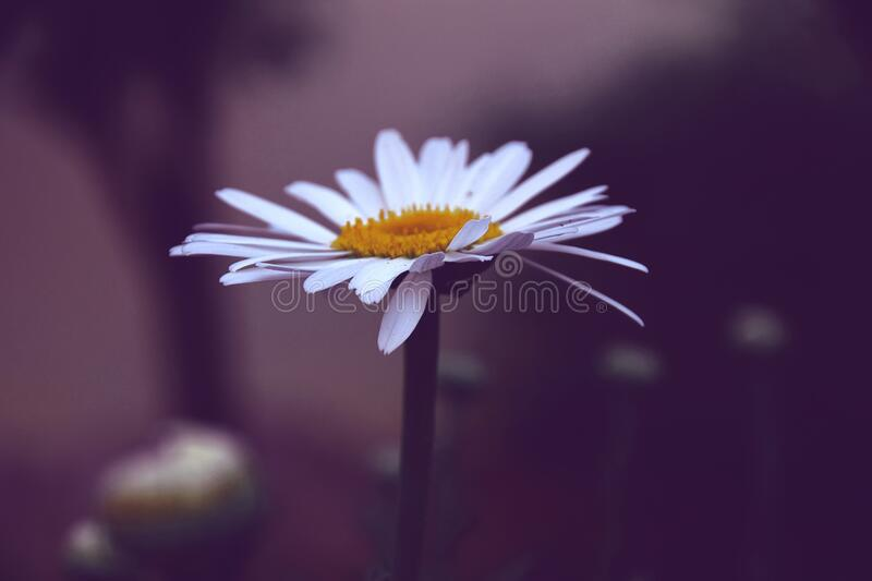 Photo of White and Yellow Daisy Flower stock image