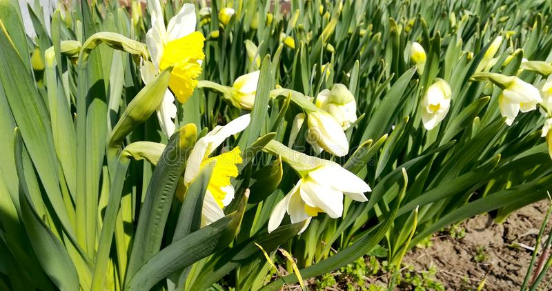 Photo of white flowers narcissus with yellow buds and green leaves royalty free stock photo
