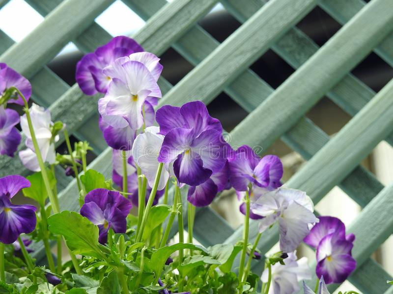 Wild flowers small garden pansy plants trellis stock image