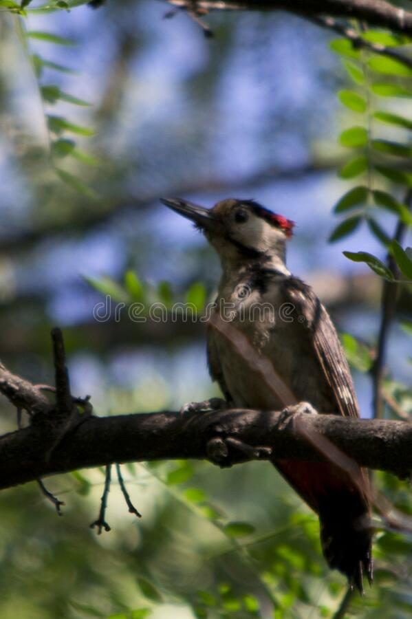 Photo of a woodpecker in forest. These birds have tough bills for drilling holes in trees and long sticky tongues for extracting f royalty free stock photos