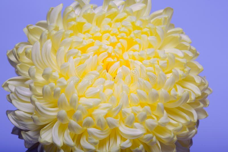 A photo of yellow chrysanthemum flower in glass vase on white background with gradient shadow.top view royalty free stock images