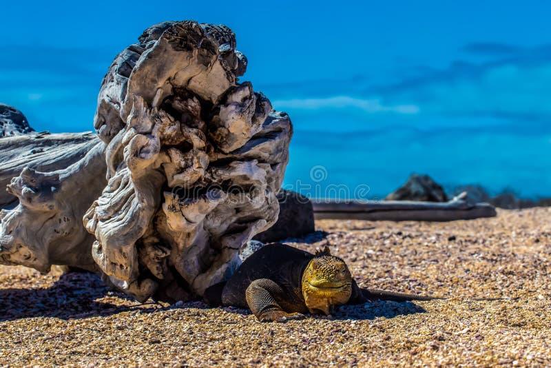 Yellow land iguana stock photography