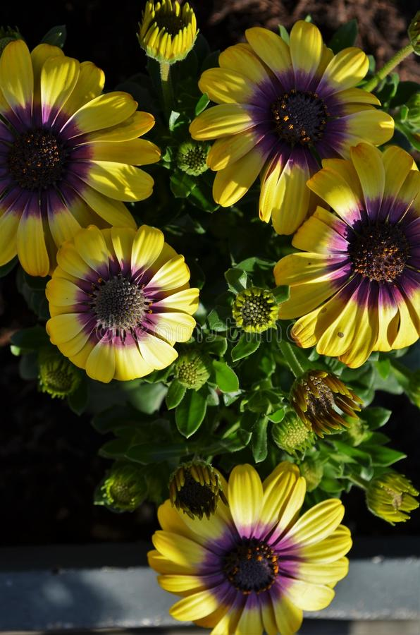 Yellow and purple cape daisy flowers in the sunlight stock photos