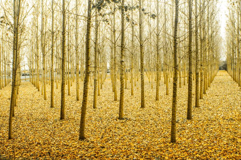 Photo of Yellow Tree Stems stock photography