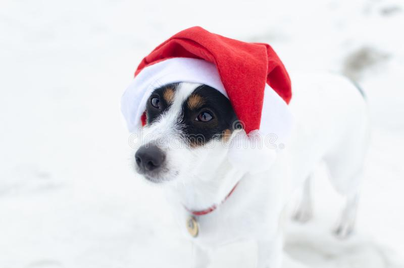 Photo of young Jack Russell Terrier in Santa`s cap on the white background. Happy New Year. Walk on a frosty winter day on the open field. Snowy winter stock image