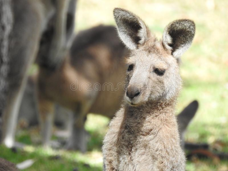 A roo in the warm sunshine royalty free stock photo