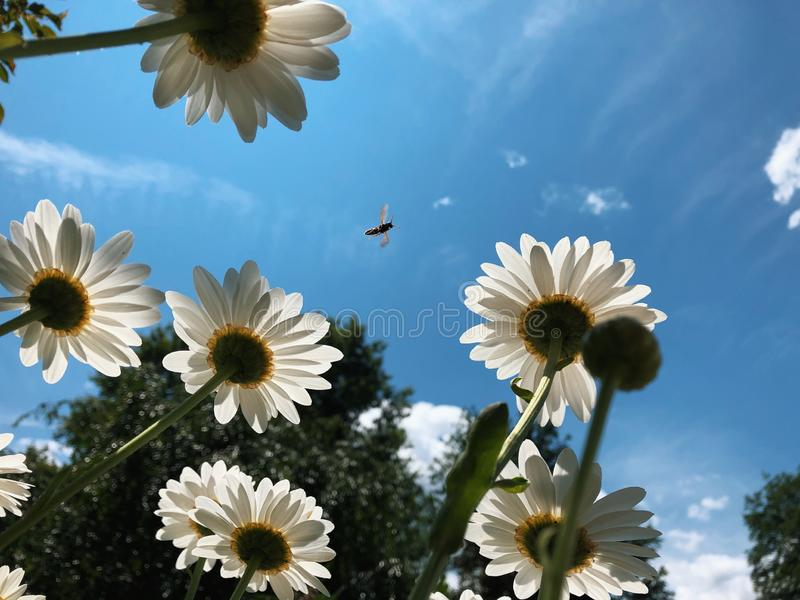 Photobomb пчелы стоковые фотографии rf