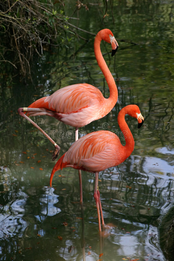 photogenic flamingos arkivbilder